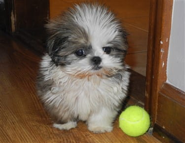 cost of shih tzu shih tzupuppies for sale goldenacresdogs com 8737