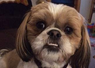 1 year old Shih Tzu dog showing teeth