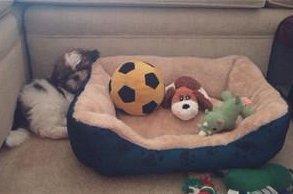 10 week old Shih Tzu puppy