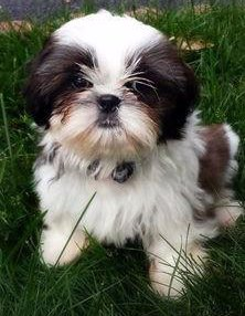 shih tzu colors-tri-colo