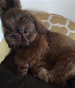 brown shih tzu puppy