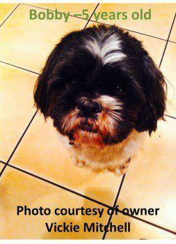 5 year old Shih Tzu dog male