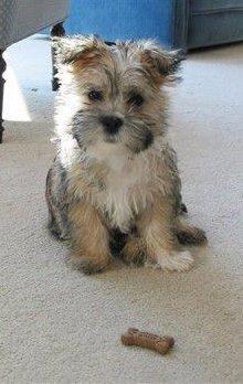 care-tzu-cairn-terrier-and-shih-tzu