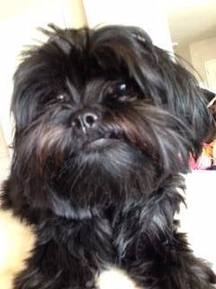 black shih tzu-touch of brown