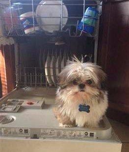 shih tzu in dishwasher