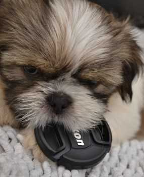 Shih Tzu with puck in mouth