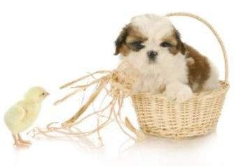 baby chicken and Shih Tzu puppy