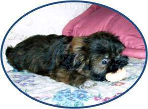 brindle colored Shih Tzu