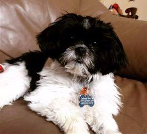 black and white shih tzu puppy-07.