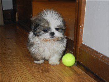 cute-shih-tzu-colors