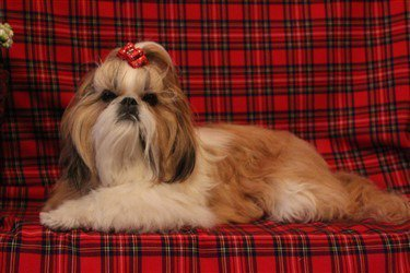 gold-and-white-shih-tzu-double-color