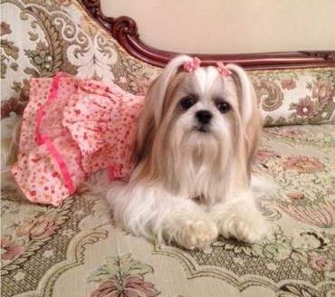 Well groomed Shih Tzu