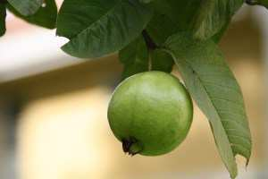 guava fruit on tree