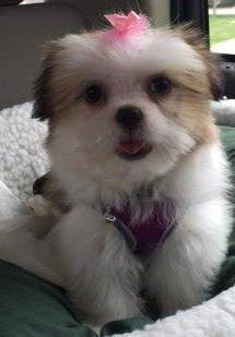 happy Shih Tzu dog