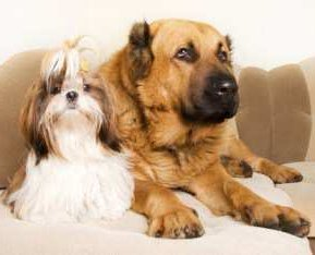 Shih Tzu sitting with a larger dog