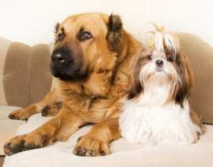 Large dog sitting next to Shih Tzu