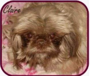 liver Shih Tzu with cream coat