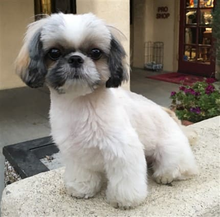 shaved shih tzu when a shih tzu rolls in dog feces or his own poop 705