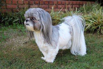 shih-tzu-hair-cut-long-ears-clipped-body