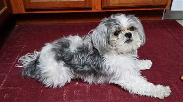 shih tzu white and silver.