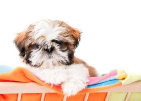 Cute little Shih Tzu dog