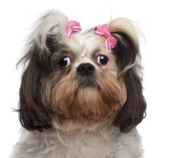 Shih Tzu begging with puppy dog eyes