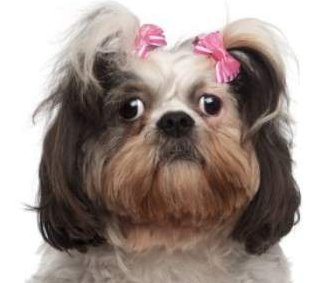 female Shih Tzu with pink bows
