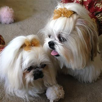 shih tzu topknots and bows how to with photos. Black Bedroom Furniture Sets. Home Design Ideas