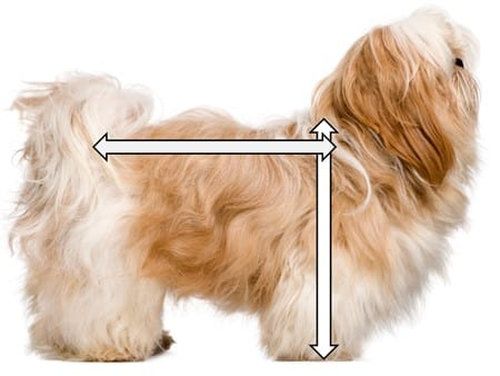 shih-tzu-height-length-ratio