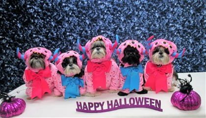 Line of Shih Tzu dogs in costumes