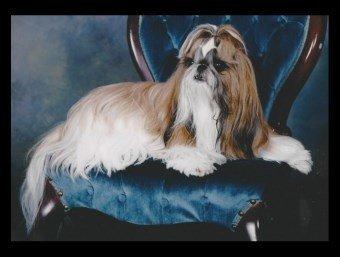 Shih Tzu on blue chair