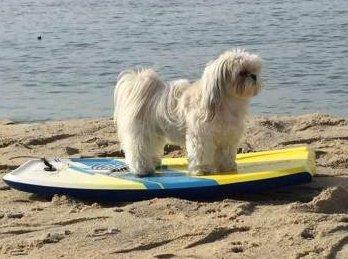 Shih Tzu on surf board