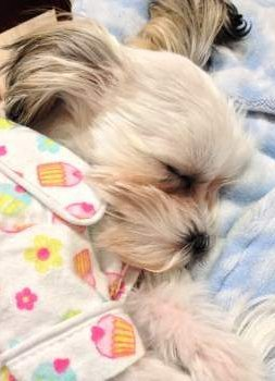 Shih Tzu Sleep And All Sleeping Issues - 20 adorable puppies that will pretty much sleep anywhere