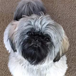 Shih tzu white and gray with black on face