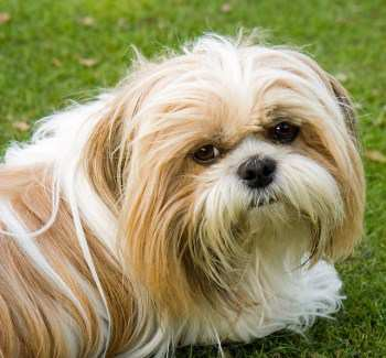 white and tan Shih Tzu dog