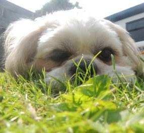 Shih tzu outside on summer grass
