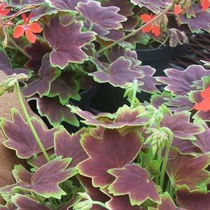 fancy leaf geranium