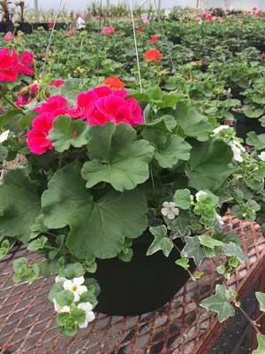 geranium hanging basket
