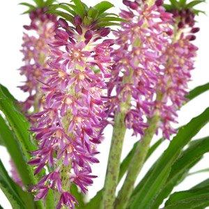 eucomis aloha lily
