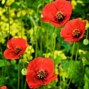 heirloom poppies