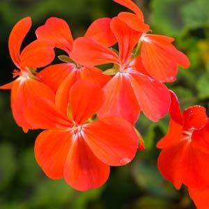 orange geranium
