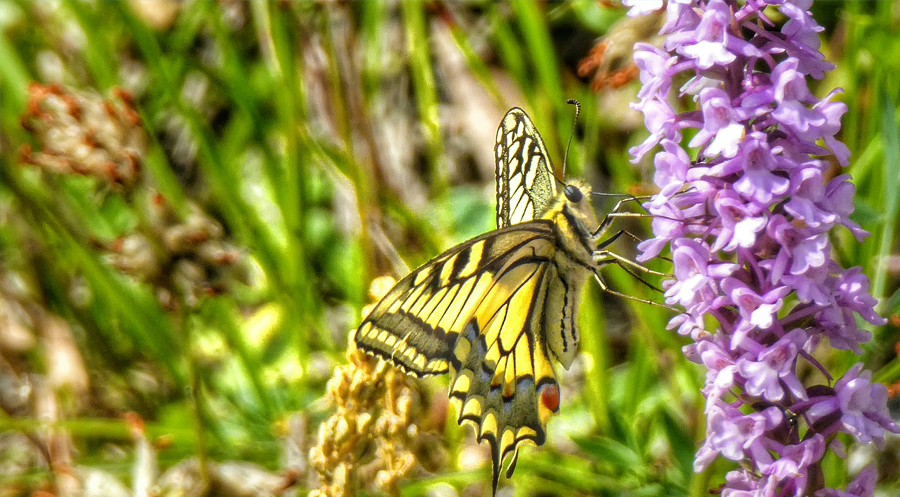 Swallowtail on orchid
