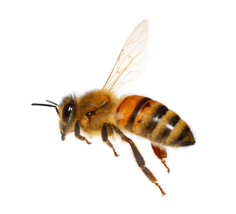 un ape vista da vicino