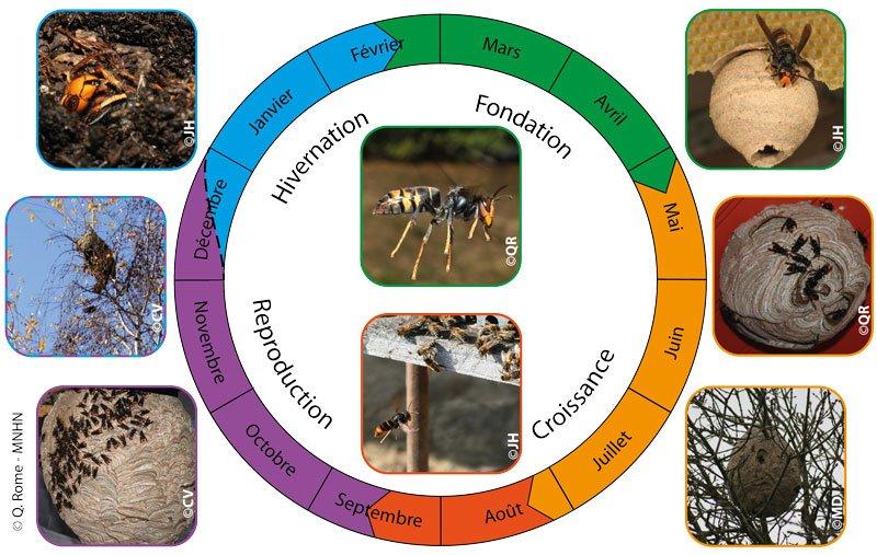 un grafico che spiega in base ai mesi quando le vespe iniziano a fare i nidi