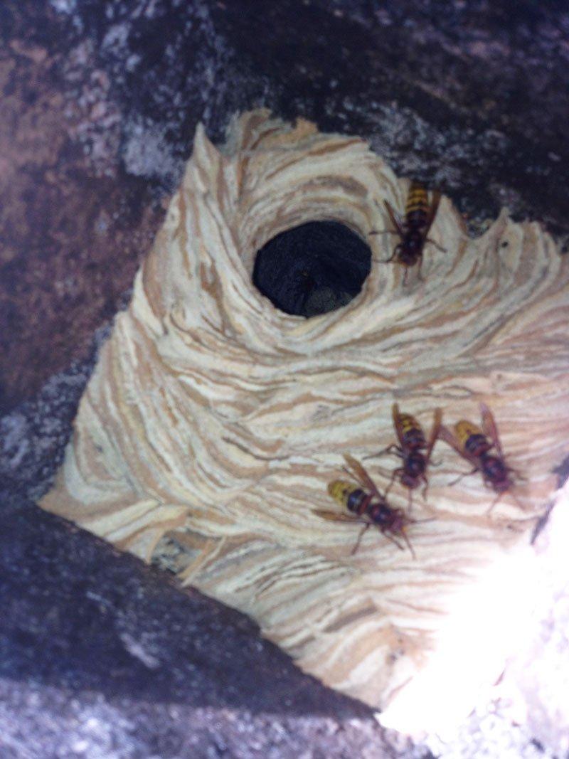 nido di calabroni e dei calabroni dentro a una canna fumaria