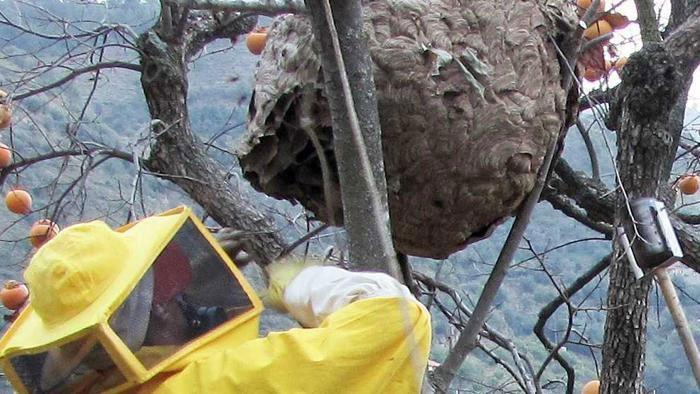 un nido di calabroni tra i rami di un albero di cachi
