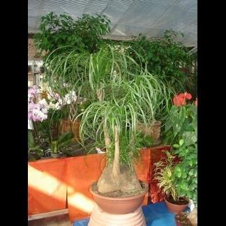 piante da tubero