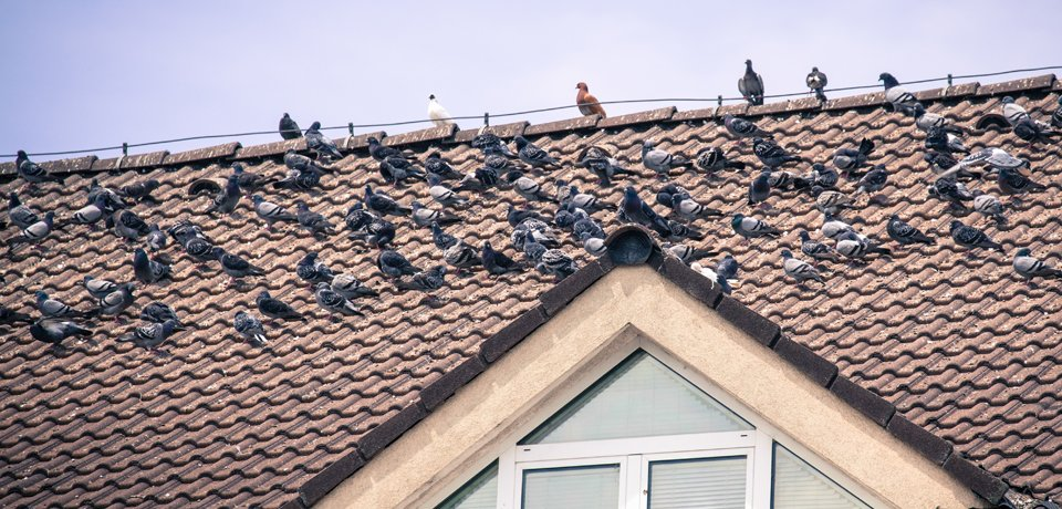 birds of the roof