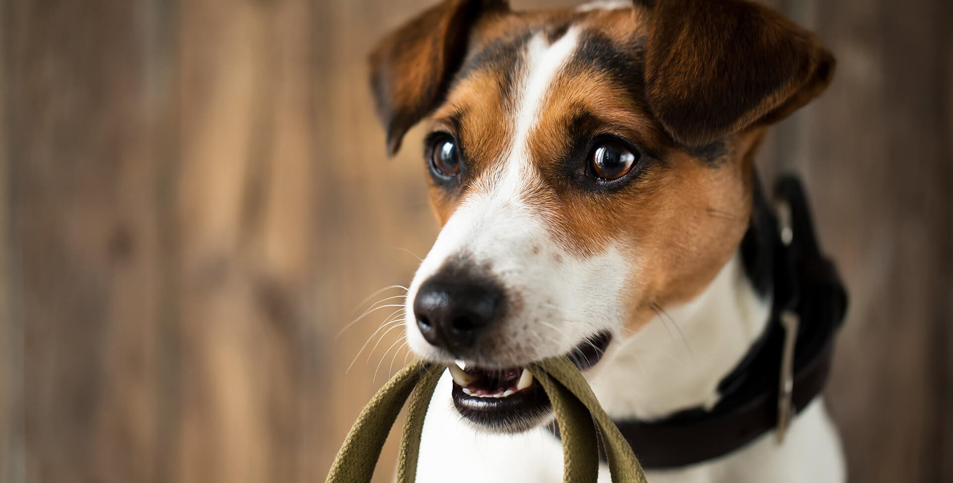 dog holding leash in his mouth