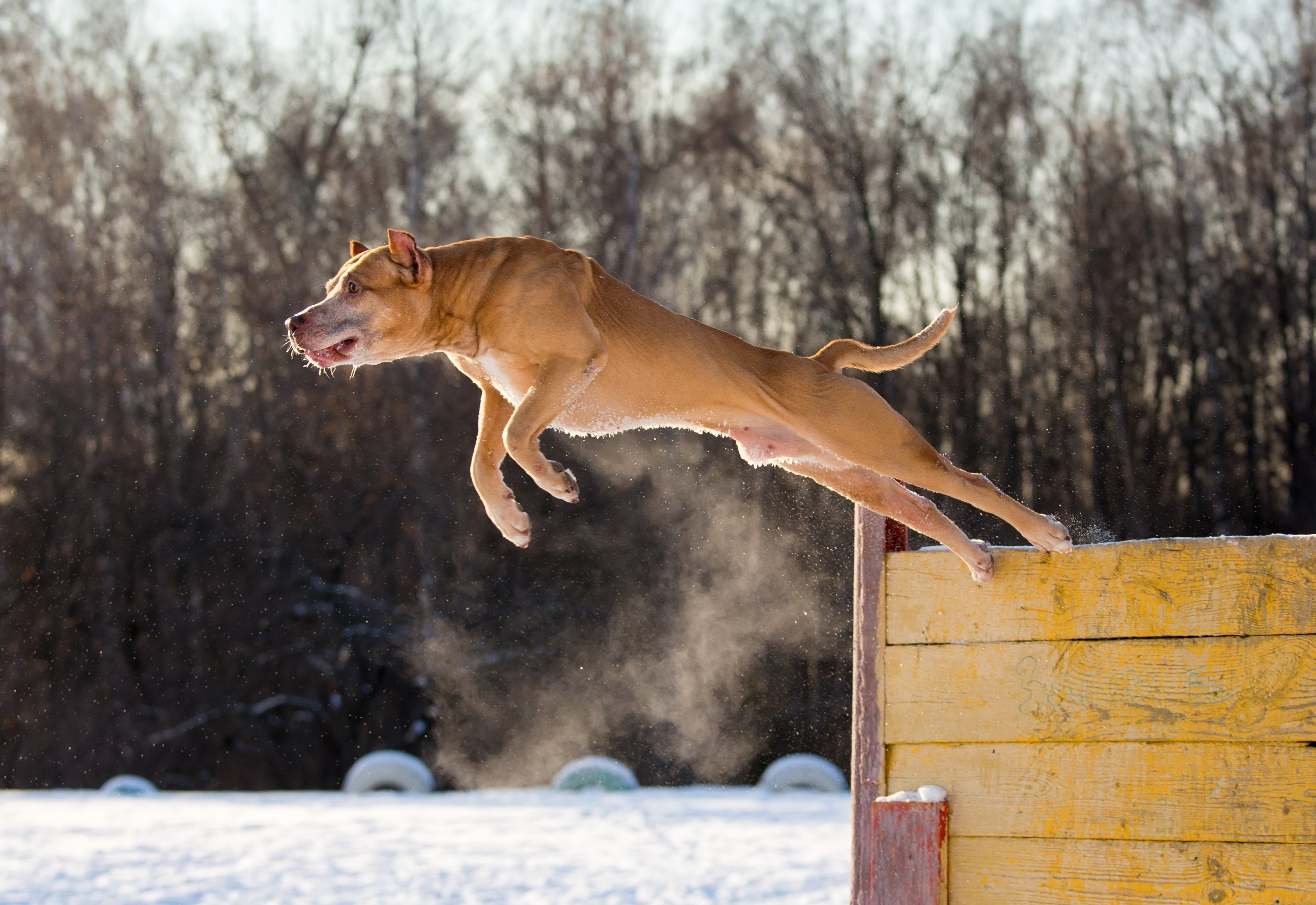 dog jumping from training props